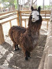 alpaca overbite