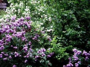 lilacs in backyard